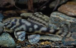 Peckoltia sp. (L209) - Click for species data page