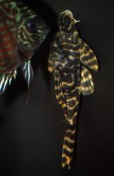 Peckoltia sp. (L278)
