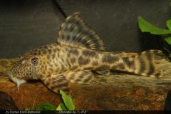 Peckoltia sp. (L478) - Click for species data page