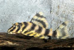 Peckoltia vittata - Click for species data page