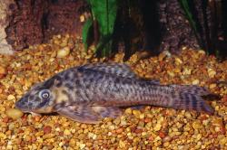 Peckoltichthys bachi - Click for species data page
