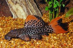 Pseudacanthicus cf. leopardus - Click for species page