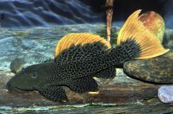 Pseudacanthicus leopardus
