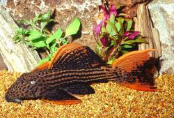 Pseudacanthicus pirarara - Click for species page