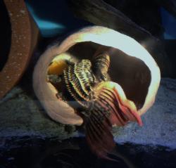 Pseudacanthicus pirarara