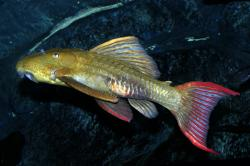 Pseudacanthicus pitanga - Click for species page