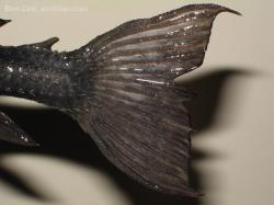 Pseudacanthicus sp. (L063)