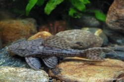 Pseudacanthicus sp. (L079)