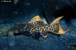 Pseudacanthicus sp. (L273) - Click for species data page