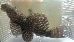 Pseudacanthicus sp. (L343) - Click for species data page
