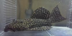 Pseudacanthicus sp. (L343)