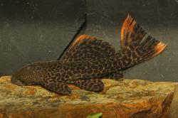 Pseudacanthicus sp. (L427) - Click for species data page