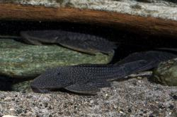 Pseudancistrus barbatus - Click for species page
