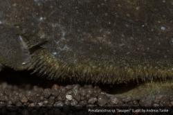 Pseudancistrus sp. (L491)