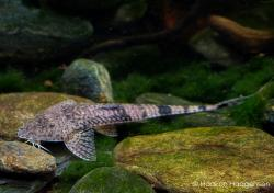 Pseudohemiodon laticeps - Click for species page