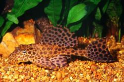 Pterygoplichthys gibbiceps - Click for species data page