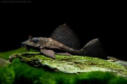 Pterygoplichthys scrophus - Click for species page