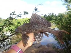 Pterygoplichthys xinguensis - Click for species data page