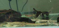 Rineloricaria phoxocephala