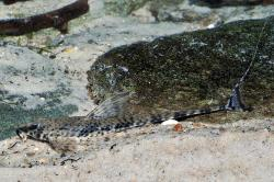 Rineloricaria platyura - Click for species page