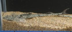 Rineloricaria sp. `PUERTO AYACUCHO`