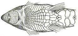 Rineloricaria thrissoceps