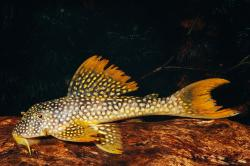 Scobinancistrus aureatus