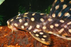 Scobinancistrus sp. (L082)