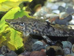 Sturisomatichthys leightoni
