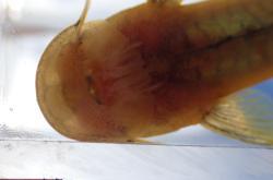 Chiloglanis anoterus