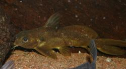 Synodontis ouemeensis