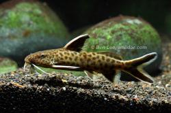 Synodontis petricola - Click for species data page
