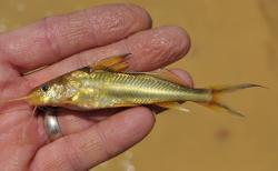 Pimelodus sp. `RIO APURE` - Click for species page