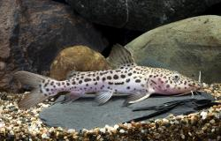 Pseudoplatystoma sp. hybrid(2) - Click for species page