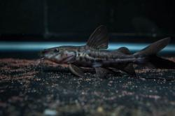 Pseudoplatystoma sp. hybrid(3) - Click for species page