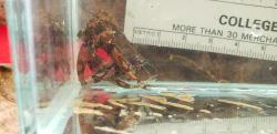 Microglanis aff. poecilus