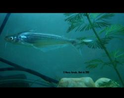 Schilbe bocagii - Click for species page