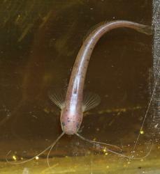 Silurichthys phaiosoma