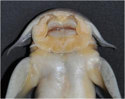Exostoma tenuicaudatum
