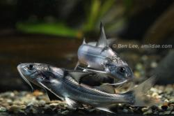 Gagata melanopterus