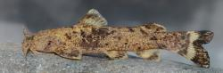 Glyptothorax kurdistanicus