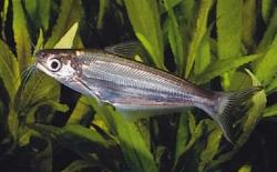 Eutropiichthys britzi - Click for species data page