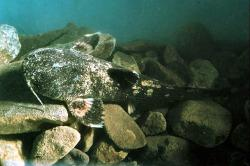 Acrochordonichthys falcifer - Click for species data page
