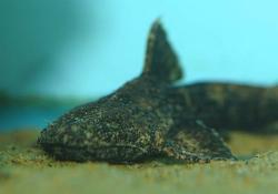 Acrochordonichthys rugosus