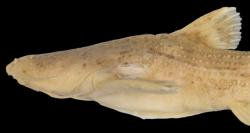 Acrochordonichthys strigosus