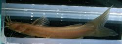 Amblyceps foratum