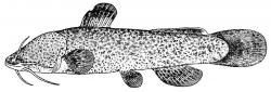 Liobagrus kingi - Click for species data page