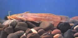 Liobagrus marginatoides - Click for species data page