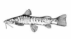 Amphilius kivuensis - Click for species data page