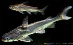 Batrachocephalus mino
